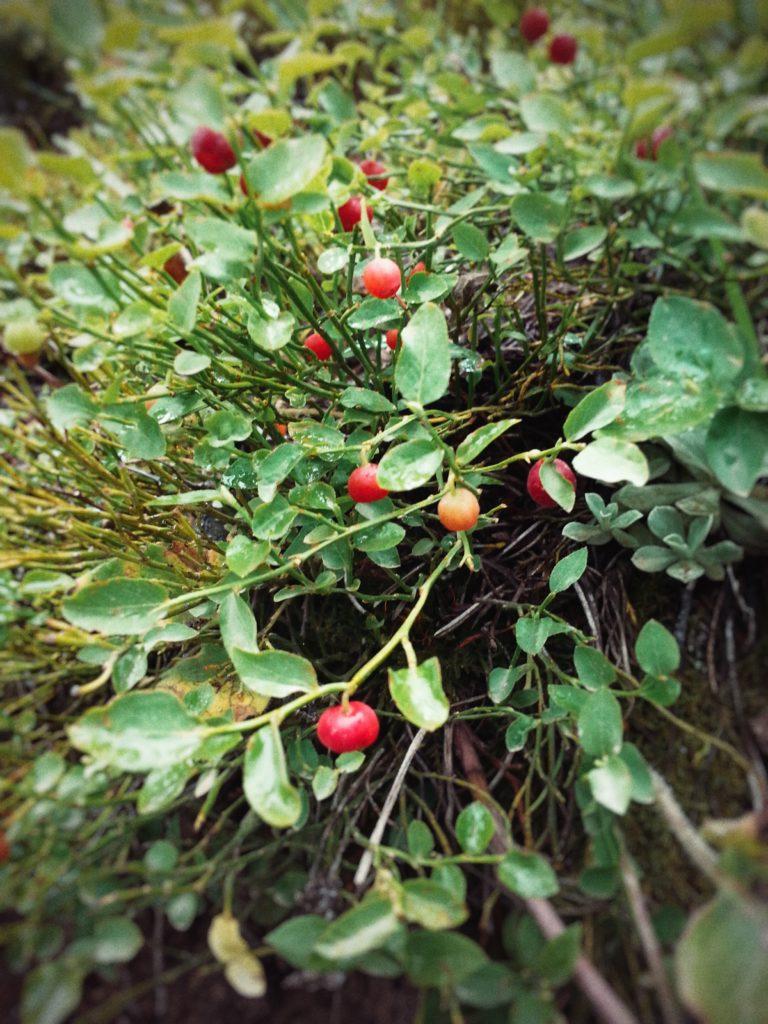 Colorado Huckleberries